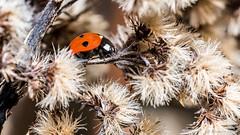 Trouvaille du début de l'année. (musette thierry) Tags: coccinelle insecte rouge february fevrier musette d800 reflex macro noir hiver thierry nikon tamron 90mm28