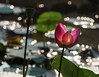 Morning beauty (elenaleong) Tags: bokeh lotusflower lotuspond morninglights elenaleong nature