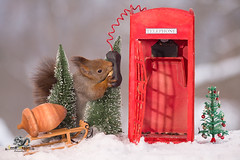 red squirrel between trees with an Telephone Booth (Geert Weggen) Tags: animal closeup communication cute fear food fun hair holidayevent humor looking mammal mystery nature photography red rodent square squirrel sweden taillight talking telephone telephonebooth tree talk phone connect winter snow christmas holiday bispgården jämtland geert weggen ragunda