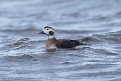 Female Long-tailed duck at Vik S24A7328 (grebberg) Tags: female longtailedduck clangulahyemalis vik klepp rogaland norway february 2018