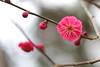 IMG_0713 (okiee8125) Tags: 梅の花