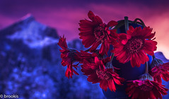 Bashed the heck out of it (brookis-photography) Tags: gerberas pink flowers mountain alpspitze sunset