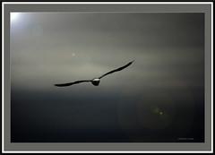 Flight. (agphoto100) Tags: bird seagull wings feathers sky clouds light dark pentax k200d framed frame strata brisbane qld manual lens tokina flight seabird