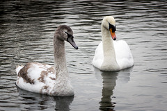 Swan with Young (RA Oliver) Tags: reddish vale greater manchester stockport uk united kingdom england great britain