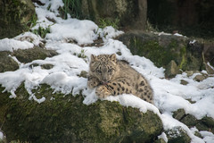 Looking Cute (zenseas busy) Tags: cub december pantherauncia winter unciauncia aibek snowy snowleopard woodlandparkzoo cold snow