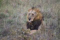 IMGP1683 (liam.ragan) Tags: animal wildlife nature creature alive life lion mane sturdy kenya nairobinationalpark