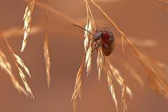 Brown Darkling Beetle (Rodger1943) Tags: beetles australianbeetles browndarklingbeetle fz1000