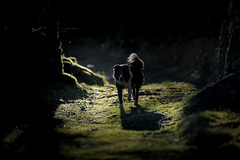 A light in the darkness (JJFET) Tags: border collie dog sheepdog