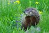 Happy Groundhog Day! (Vie Lipowski) Tags: groundhog marmotamonax woodchuck rodent animal backyard weatherforecaster wildlife nature