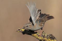 Passera Scopaiola (Prunella Modularis) (Marcello Giardinazzo) Tags: passerascopaiola prunellamodularis uccelli birds bird natura wild avifauna