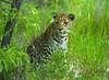 Namibia Animals - 01 (Sergey V.Kozlov) Tags: africa namibia etosha leopard wildlife sonya900