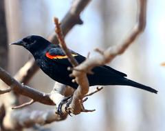 Red-winged Blackbird (Reid2008) Tags: redwingedblackbird blackbird bird atlantaga