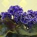 非洲紫羅蘭 Saintpaulia Sheer Luck  [香港花展 Hong Kong Flower Show]