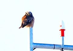 northern hawk owl at Sax Zim Bog MN 854A0658 (lreis_naturalist) Tags: northern hawk owl saxzim bog minnesota larry reis