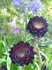 Tresco: Tall Succulent (Marit Buelens) Tags: succulent trescoabbeygardens tresco islesofscilly scillies aeoniumarboreum black purple green treeaeonium zwartkop shrub subtropical exotic