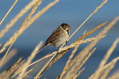 Reed Bunting (Dougie Edmond) Tags: bird birds winter sunshine nature wildlife ayrshire canon