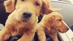 So, I got to visit with these cuties yesterday: Fern and Clover (MDawny72) Tags: mustlovedogs dogs itsadogslife furtails furry socute sweet goldenretrievers goldens goldies makesmehappy puppy february 2018 boop happyfaces boopmynose whiskers 2018inphotos february162018 dog canine female carrides copilots shotgun
