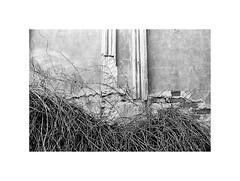 Wall (kotmariusz) Tags: wall decay ivy detail monochrome blackandwhite bw monochrom analog bluszcz detal ściana czarnobiały 35mm ilfordpan400 pan400 olympusom40