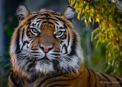 No messin (JKmedia) Tags: big cat bigcat panther boultonphotography chesterzoo cheshire february 2018 portrait animal bokeh tiger stripes pantheratigris