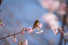 _DSC0842.jpg (plasticskin2001) Tags: mejiro sakura flower bird