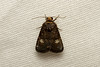 Noctuidae sp. (Moth) - South Africa (Nick Dean1) Tags: animalia arthropoda arthropod hexapoda hexapod insect insecta lepidoptera noctuidae moth southafrica krugernationalpark satara