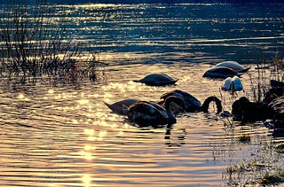 Schwanensee - Swan lake