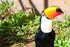 BD1F0182 (julioleite) Tags: aves avesdobrasil avifauna aviphauna birding birds birdsofbrazil brazilianbirds canon canondslr canoneflens canonusers ef75300 eflens eos1d nature natureza passaros ramphastostoco tucano vidaselvagem wildlife