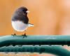 Dark-eyed Junco (vernonbone) Tags: 1855kitlens 2017 2018 500mm black d3200 darkeyedjanco eastpointpark january lakeontario lens ontario white backyard birds closeup colors nikon outside sigma winter