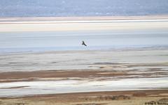 Rough-legged Hawk, Great Salt Lake, Utah, November 05, 2017 (ebuechley) Tags: raptor conservation utah wildlife
