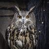 Edinburgh Owl (Jack Heald) Tags: owl royalmile oldtown edinburgh scotland eagleowl eurasianeagleowl captive heald jack travel tourist nikon d750 bird europeaneagleowl