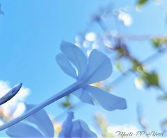 312. PAINTERLY 15: Plumbago Pastels (Meili-PP Hua 2) Tags: flora flowers plumbago blue pastel soft dreamy petals blossoms buds plant abstract abstractart photographyart impressionistic impressionism painterly macro flower sky bright flowersasart