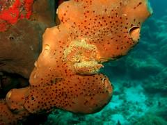 IMG_1523 (adrienweckel) Tags: adrienweckel agelasconifera clathriavenosa epongeencroutanteveinéeorange epongetubulairebrune eponges