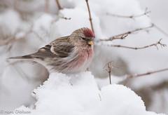 Common Redpoll (Acanthis flammea) Gråsiska (Hans Olofsson) Tags: bird fågel fåglar garden gråsiska nature skammelstorp snö trädgård vinter winter acanthusflammea redpoll
