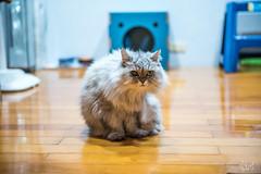 2018.1.24 貓貓貓 (HsienTang) Tags: nikon d750 nikond750 2470mm 2470mmf28 f28 cat 貓 feliscatus 金吉拉 chinchilla 波斯貓 persian
