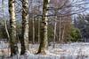 thirst for sun (kirill3.14) Tags: trees outdoor sosnovybor winter ride snow