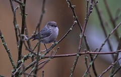 Lost (robinlamb1) Tags: nature outdoor animal bird tiny bushtit psaltriparusminimus roseofsharonbush bush backyard aldergrove raining