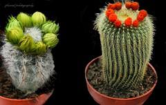 Cactus Flowers: Mother Nature's Fireworks (jackfre 2) Tags: belgium wilrijk antwerp flowers plants cactus cactusflowers cactusflower