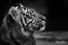 Suka (ToddLahman) Tags: sumatrantiger safaripark sandiegozoosafaripark suka beautiful outdoors portrait mammal male tiger tigers tigertrail tigercub teddy joanne canon7dmkii canon canon100400 closeup profileheadshot profile blackandwhite