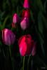 Flowers-Tulips-55.jpg (Chris Finch Photography) Tags: tulipasaxatilis spring tulip pinktulip flower tepals tulipalinifolia springblooming chrisfinchphotography perennial redtulip petal herbaceousbulbiferous petals tulipa pinktulips flowers tulipaturkestanica perennials herbaceous bloom bulb tulipagesneriana bulbs tulipaarmena lilioideae chrisfinch herbaceousbulbiferousgeophytes macrophotography tulipaclusiana blooming tulipahumilis redtulips wwwchrisfinchphotographycom tulips