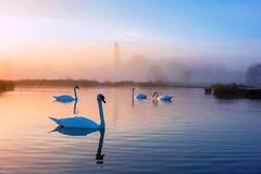 stour valley swans_1976 (mistycrow) Tags: reflections water swan swans birds wildlife sunrise stour valley river fog mist mistycrow misty landscapes meadows sudbury suffolk