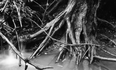 Tree roots in the brook (dayrellbishop1) Tags: brook roots water
