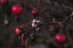 Rosehip-6 (olykaynen) Tags: plant rosehip berry dark autumn botanical