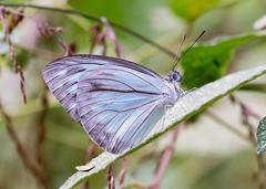 Common Wanderer (chaz jackson) Tags: commonwanderer pareroniaanais pieridae pierinae butterfly insect macro vietnam wanderer