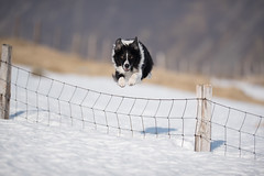 8/52 Panache (JJFET) Tags: 8 52 weeks for dogs paddy fence jumping border collie collies dog sheepdog