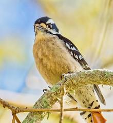 Downy Woodpecker (judyfoxworthy) Tags: bird animal feathers florida