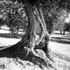 scan0006 (Champy88) Tags: bronicaec nikkorp7528 fomapan100 foma formatomedio mediumformat reflectamf5000 rodinal blancoynegro blackandwhite noiretblanc film filmphotography filmisnotdead 120film olivo olivetree olive