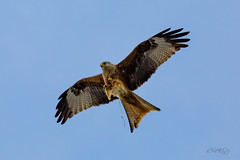 Red Kite (deltic17) Tags: bird birds birdofprey redkite flying shit crap poo hunter wild wildlife rspb animal creature beautiful majestic talon beak feather canon raw