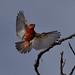 Male, Vermillion Flycatcher at San Joaquin Wildlife Sanctuary, Irvine, CA (OC Hiker) Tags: sanjoaquinwildlifesanctuary 01142018 orangecounty california afsdxnikkor55300mmf4556gedvr nikond5300 birds vermillionflycatcher pyrocephalusrubinus
