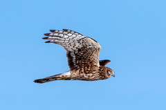 Northern Harrier (Ed Sivon) Tags: america canon nature lasvegas wildlife wild western southwest desert clarkcounty clark vegas bird birdofprey henderson nevada preserve