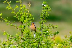 Chaffinch (SLHPhotography1990) Tags: 2017 bemebridge brading marsh may nikon soph chaffinch finch red breast garden bird birds colour spring british english nature native wood woodland